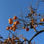 柿と秋の空が、プロデザイナーとの差を埋める!?