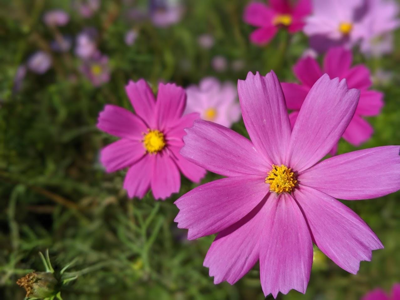 コスモスのピンクと緑が、つくりだす秋は、なぜ美しいのか?